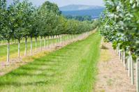Kirschenplantage, Obstanbau