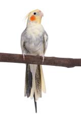 Cockatiel perching on a branch