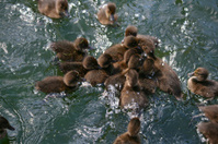 Babe ducks in a pond