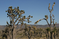 Joshua tree in Mojave Desert, California