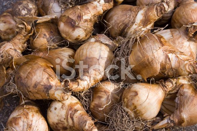 Daffodil Bulbs Stock Photos