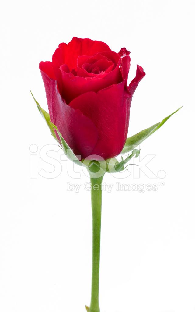 Single Red Rose stock photos - FreeImages.com