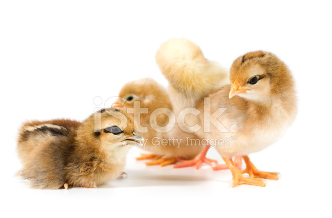 Baby Chickens Stock Photos Freeimages Com