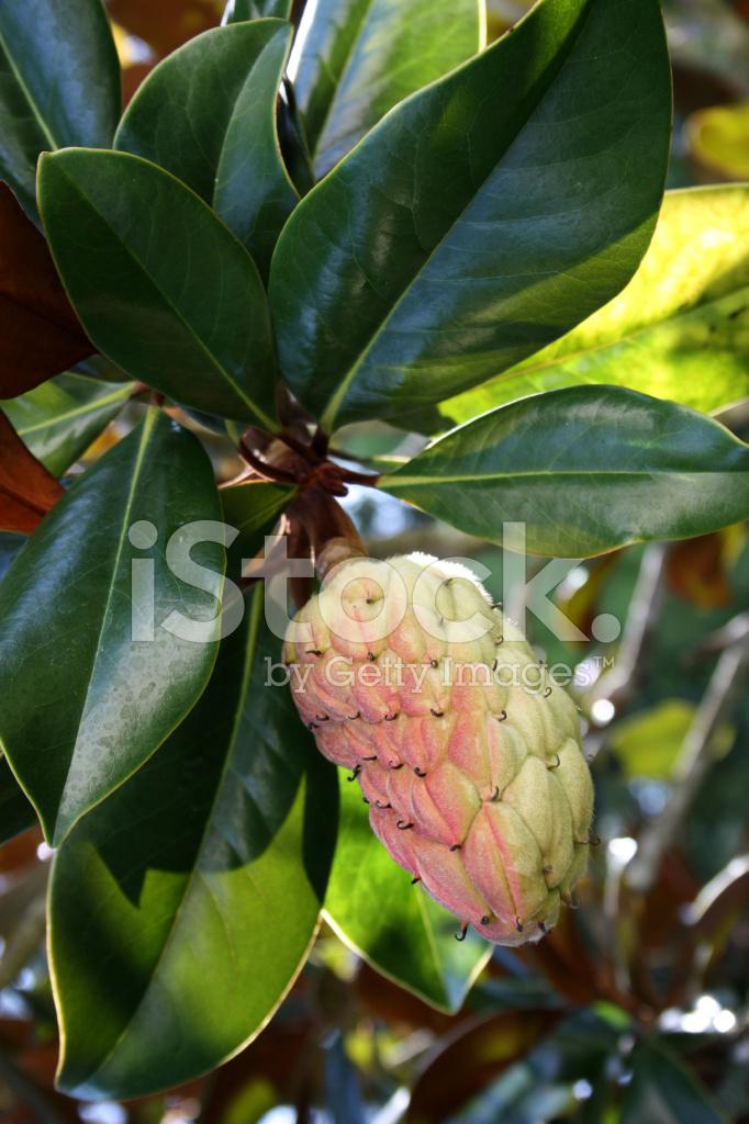 Magnolia Tree Seed Pod Stock Photos Freeimagescom