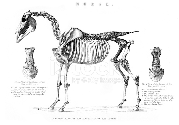 skeleton of the horse stock photos