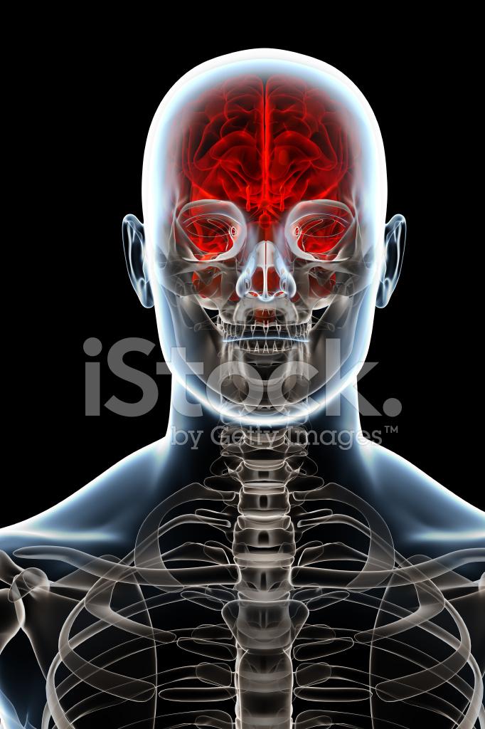 Head and brain anatomy