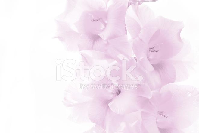 Gladiole Rosa Blumen Auf Weißem Hintergrund Stockfotos - FreeImages.com