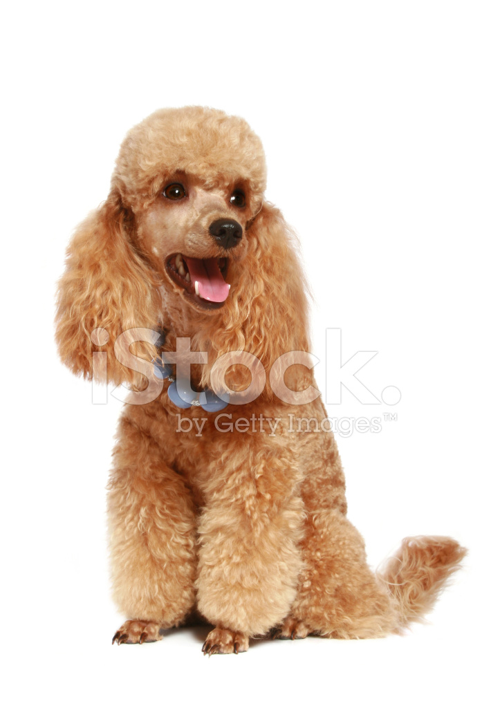 Apricot Poodle Puppy 1year Stock Photos Freeimages Com