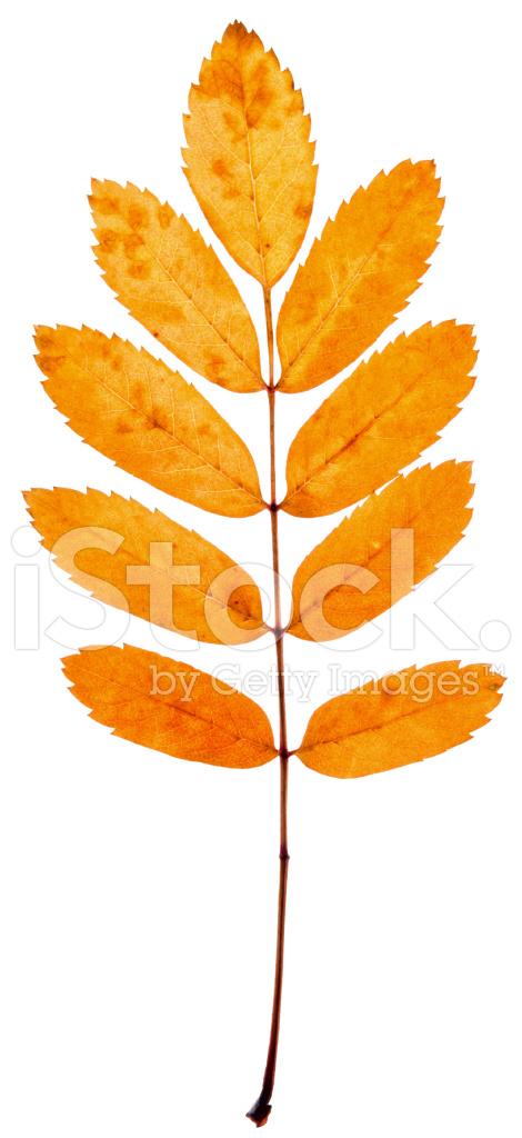 Как выглядит лист рябины