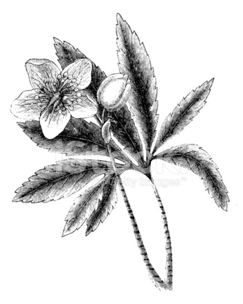 Flores Ilustraciones Botanicas Antiguas Stock Vector Freeimages Com