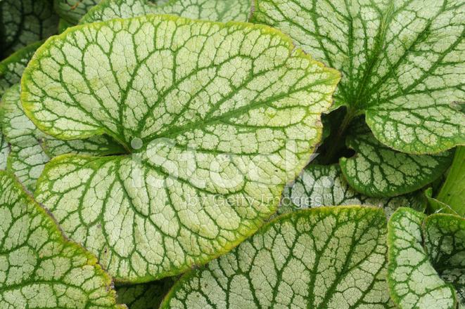 Grande feuille verte de vivace photos for Plante vivace verte