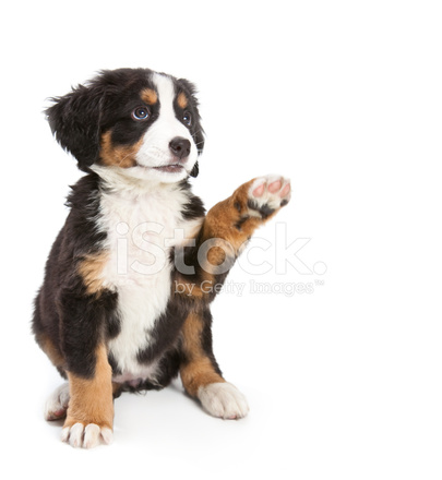 Puppy Cut Bernese Mountain Dog