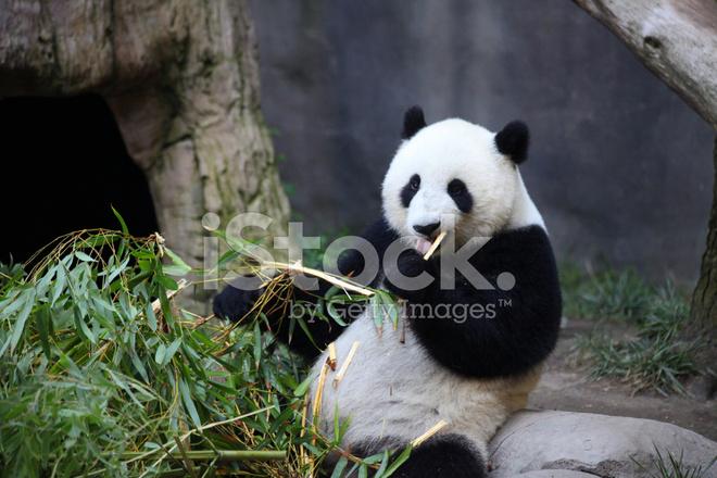 Essen Gerne Bambus Panda Stockfotos Freeimages Com
