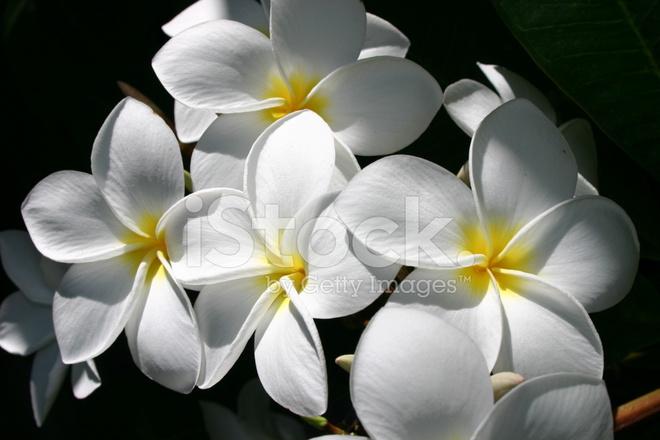 White and yellow frangipani flowers with shade surrounding stock premium stock photo of white and yellow frangipani flowers with shade surrounding mightylinksfo