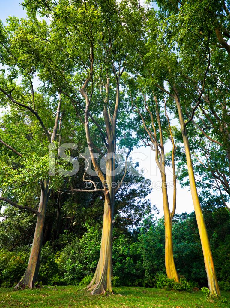 rainbow eucalyptus trees along the road to hana maui hawai i stock