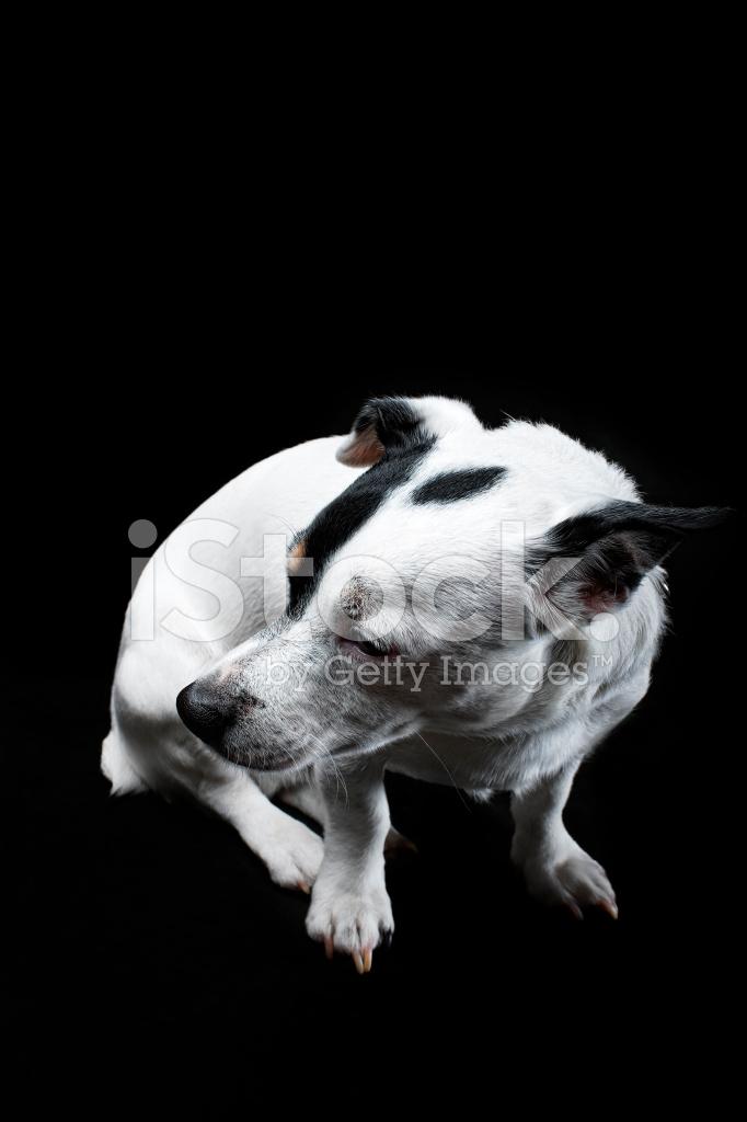Schwarz Stockfotos Terrier Und Weiß Jack Russell H2WEY9DI