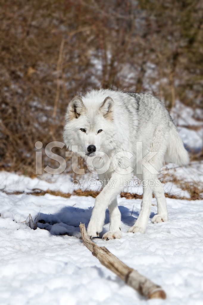 Tundra Wolf Stock Photos Freeimages Com