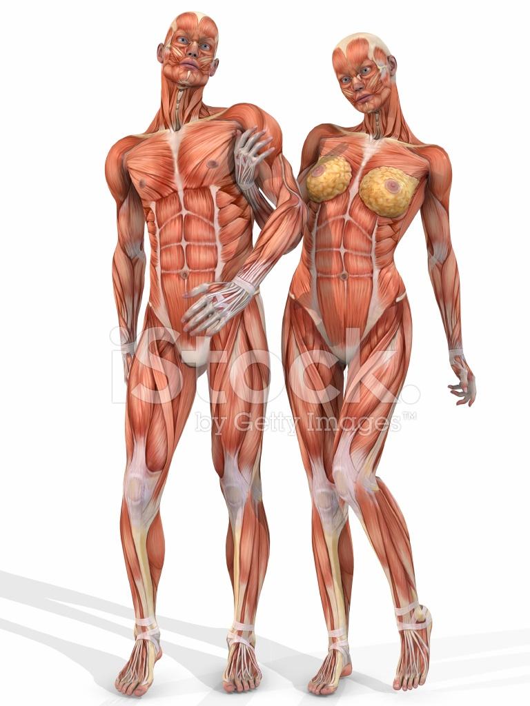 Weibliche UND Männliche Anatomische Körper Paar Stockfotos ...