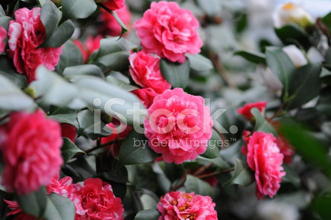 Camellia Rose Tea Room