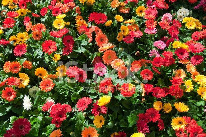 Sfondo Fiori Colorati Primavera Fotografie Stock Freeimagescom