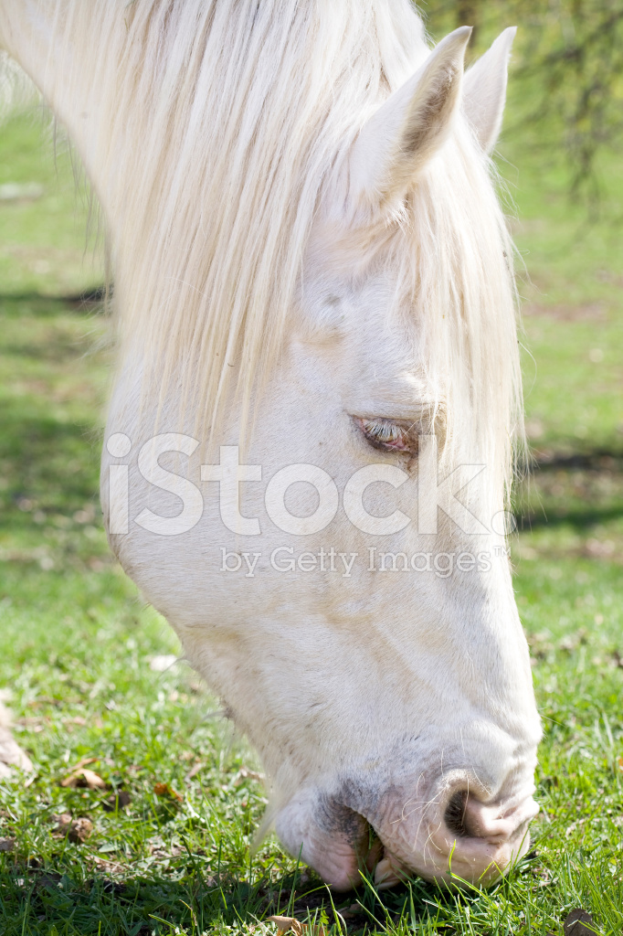 White horse eating grass - photo#21