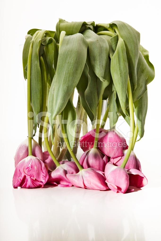 tulipe fanee