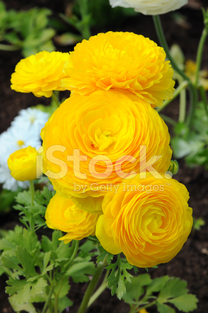 ranunkel orange yellow buttercups flower stock photos free springtime clipart free springtime clipart