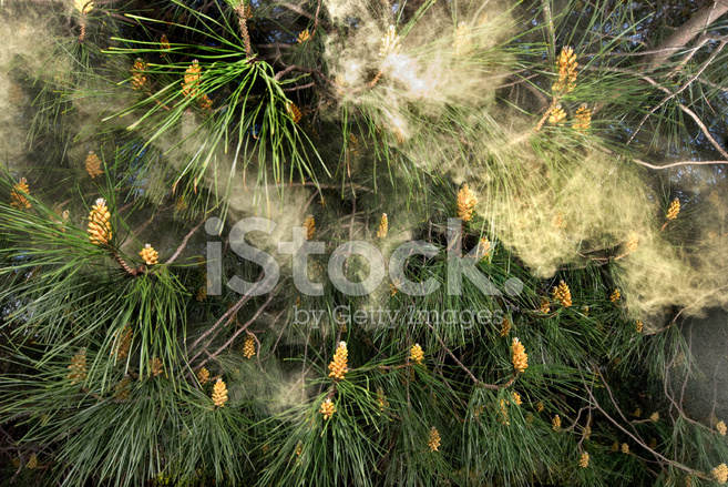 Allergy Causing Pollen Blowing from A Pine Tree, Pinus Stock