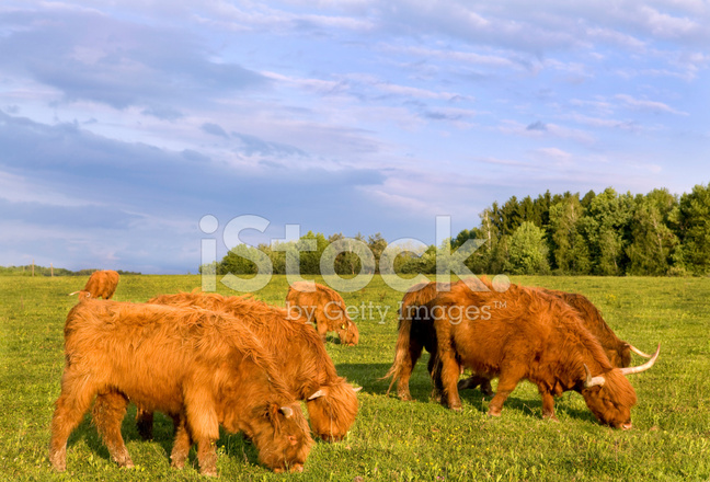 Herd of Scottish Highland Cattle Stock Photos - FreeImages.com