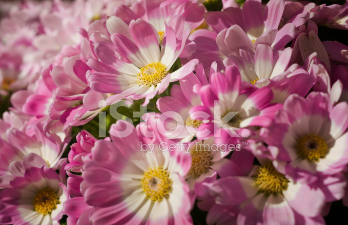 Pink And White Flowers With Yellow Center Stock Photos Freeimages