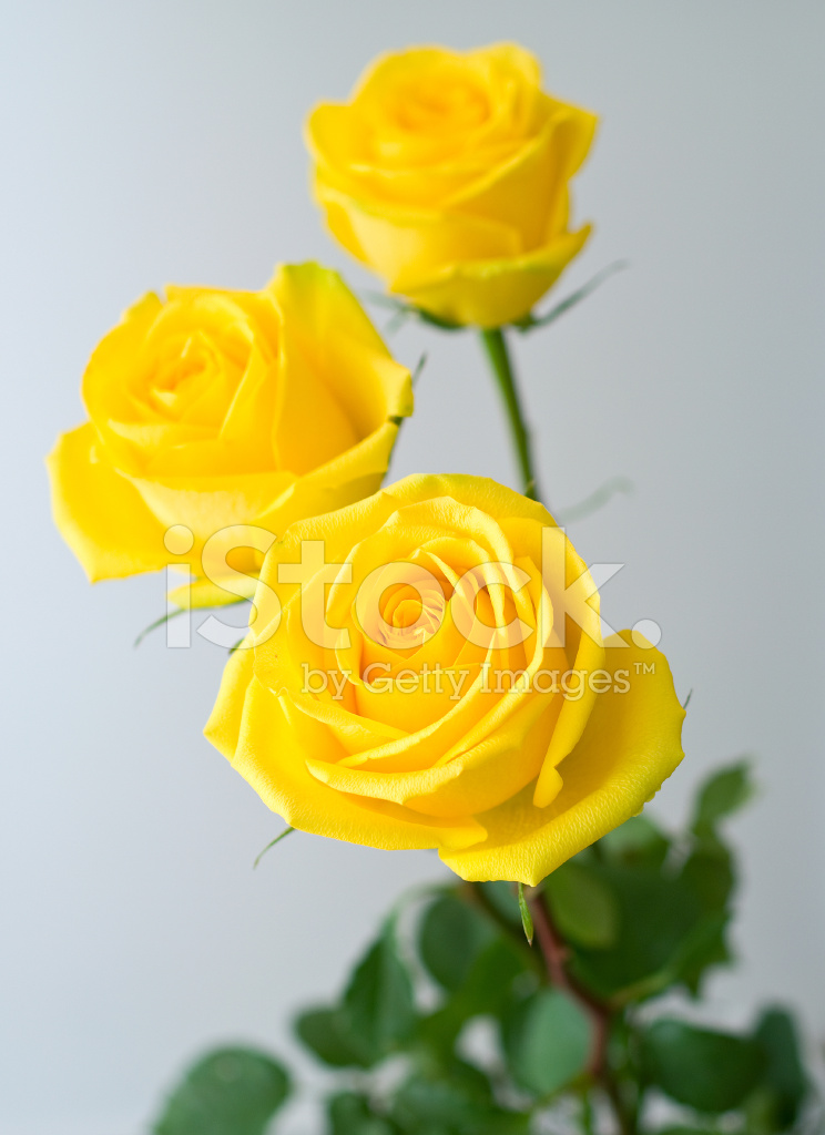Yellow Roses Stock Photos Freeimages Com
