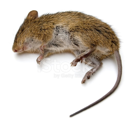 Dead Rat Stock Photos Freeimages Com