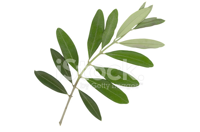 Leaves From An Olive Tree Stock Photos Freeimagescom