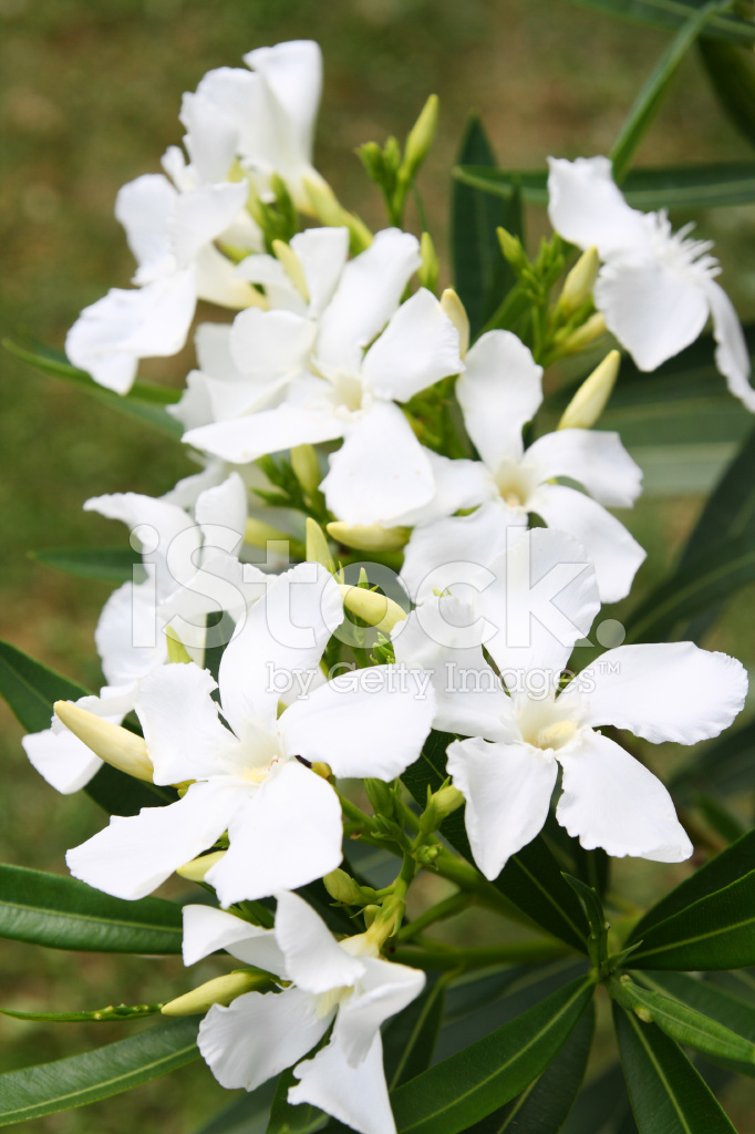 Flowering White Oleander With Buds Stock Photos Freeimages