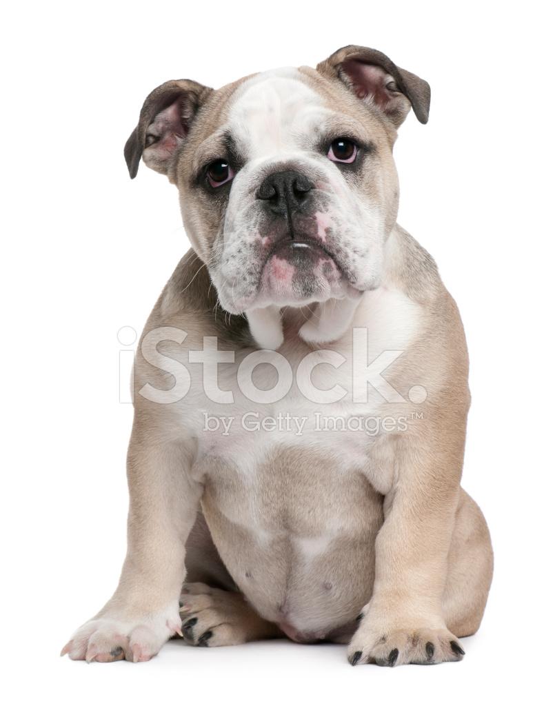Dog Names For A British Bulldog