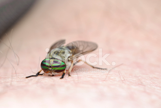 Ouch! Horse Fly Bites! Stock Photos