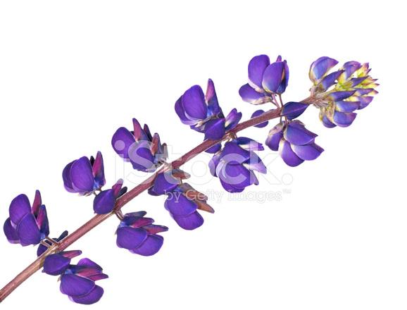 Dark Blue And White Flowers: Dark Blue Lupine Flower Isolated On White Stock Photos