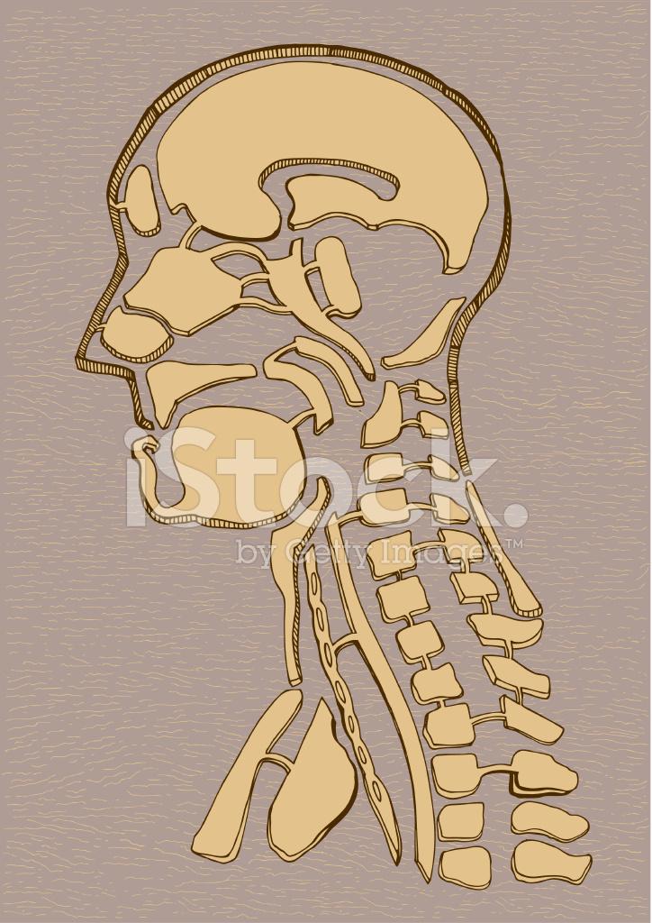 Antiguo Mapa Dibujo DE Anatomía Humana Stock Vector - FreeImages.com