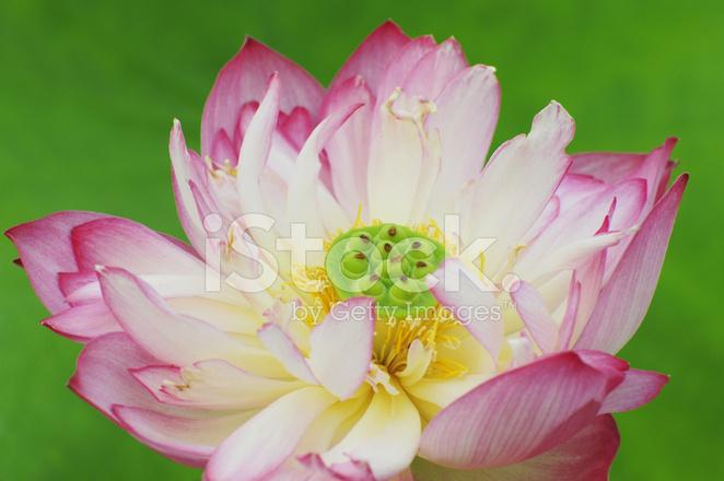 Fiore Fiore Di Loto Con Sfondo Verde Fotografie Stock Freeimagescom
