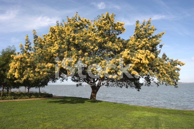 Flowering Acacia Tree Yellow Flower Stock Photos Freeimagescom