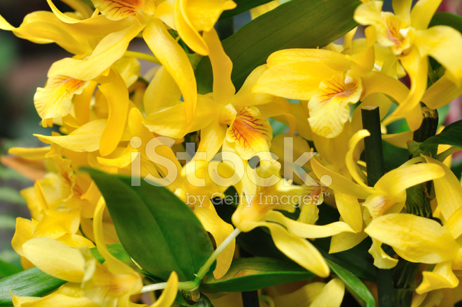 Yellow orchid flowers stock photos freeimages premium stock photo of yellow orchid flowers mightylinksfo