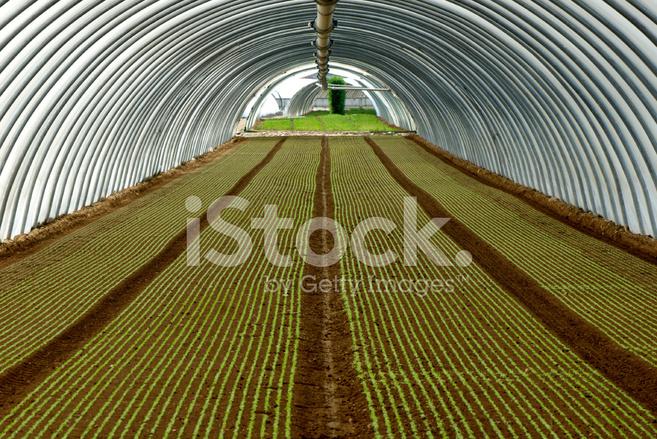 Växthus Odla : Växthus odla sallad stockfoton freeimages
