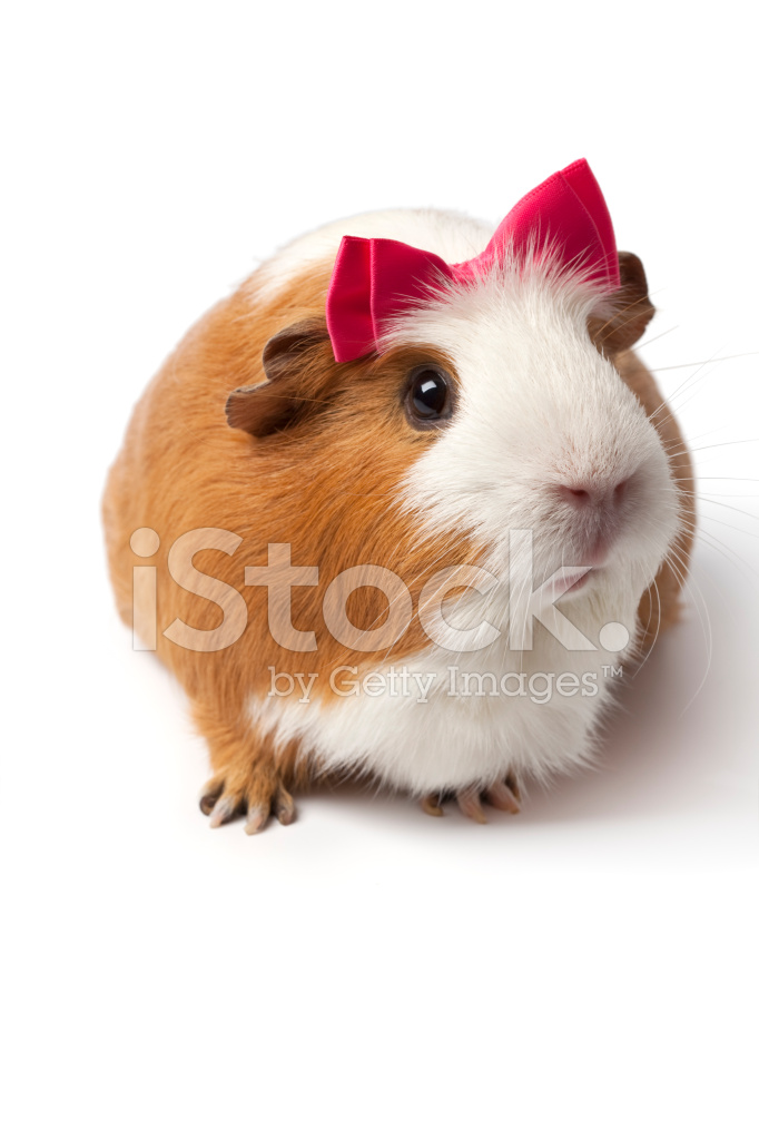 how to tell boy and girl guinea pigs