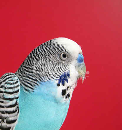 Blue Parakeet Stock Photos Freeimages Com