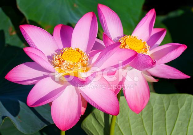 Belas Flores De Um Loto Fotos Do Acervo Freeimagescom