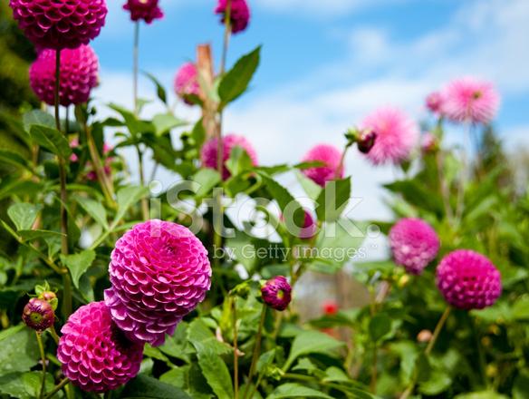 POEMAS SIDERALES ( Sol, Luna, Estrellas, Tierra, Naturaleza, Galaxias...) - Página 23 14246672-beautiful-garden-with-pink-dahlias