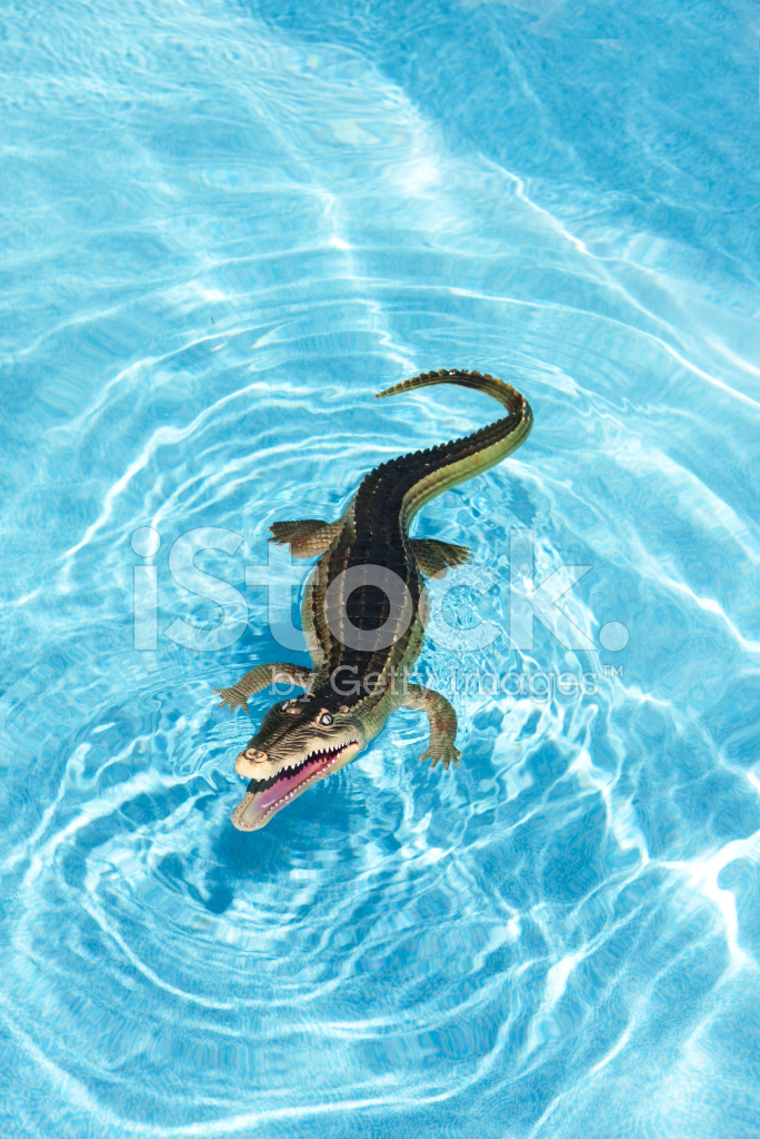 Alligator in a swimming pool stock photos Blow up alligator for swimming pool