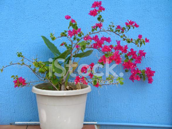 fleur de bougainvillier en pot rouge contre le mur bleu photos. Black Bedroom Furniture Sets. Home Design Ideas