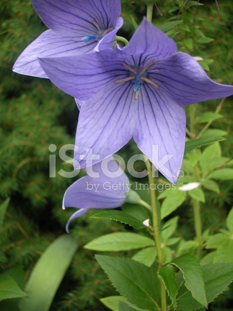 Purple Bellflowers Campanula Stock Photos Freeimages