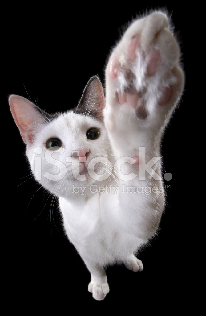 Cat Reaching With Paw Stock Photos Freeimages Com